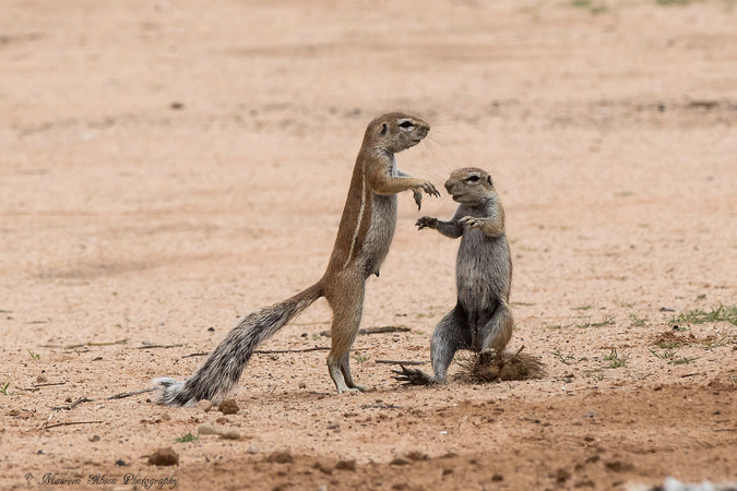 Ground squirrel, Kgalagadi Transfrontier Park, South Africa