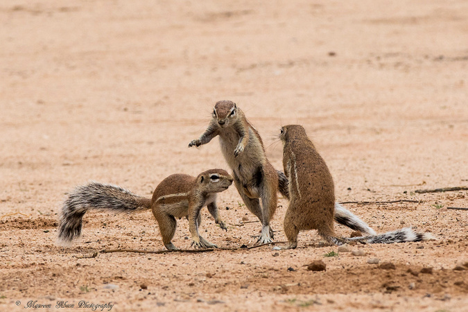 Ground squirrels fighting, Kgalagadi Transfrontier Park, South Africa