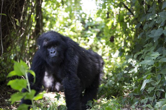 Mountain gorilla in the rainforest