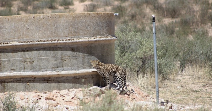 Leopard standing by dam wall in Kgalagadi Transfrontier Park