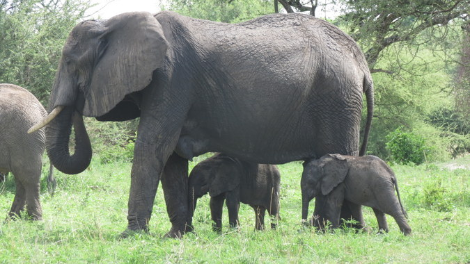 Elephant mother with twin calves