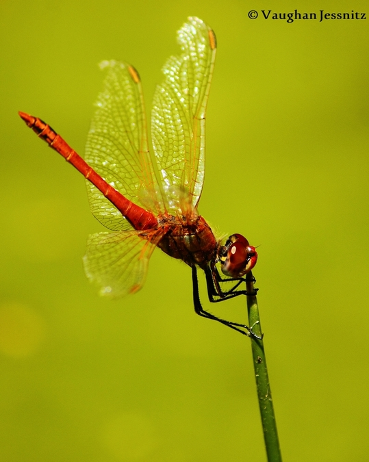 dragonfly, African insects