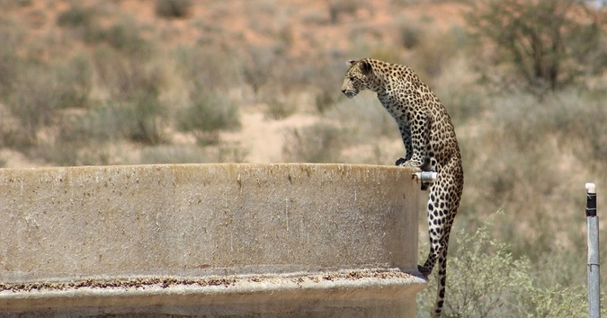 Leopard standing on dam wall in Kgalagadi Transfrontier Park