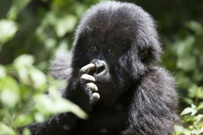 Young mountain gorilla picking its nose