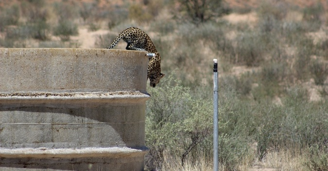Leopard jumping off dam wall in Kgalagadi Transfrontier Park