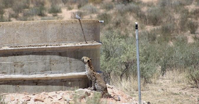 Leopard watching bird sitting on dam wall in Kgalagadi Transfrontier Park