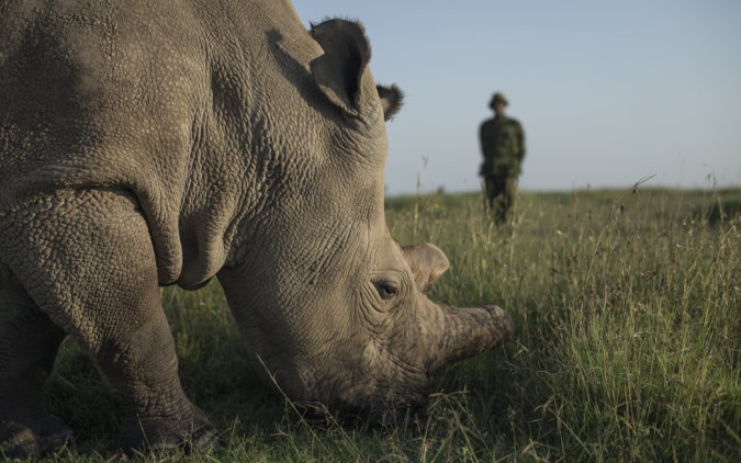 One of the last of the northern white rhinos on earth