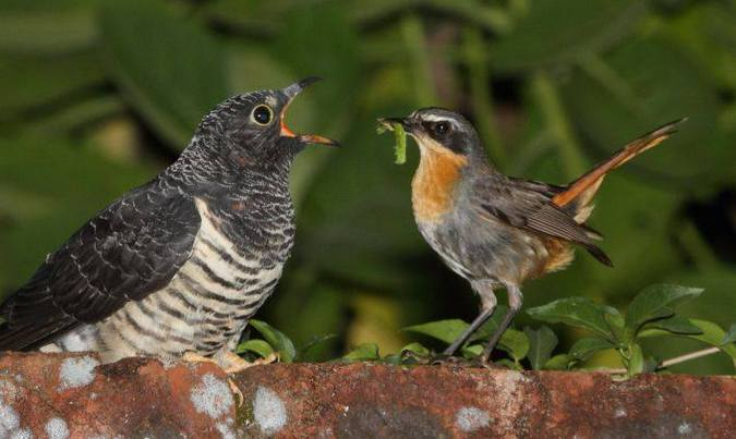 Cape robin-chat feeding a juvenile red-chested cuckoo