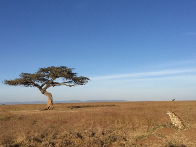 Cheetah sitting with tree in background, Mugie Conservancy, Kenya