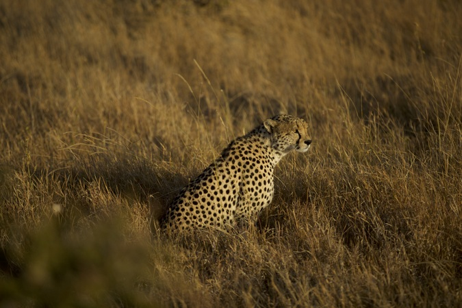 Cheetah in Mugie Conservancy, Kenya
