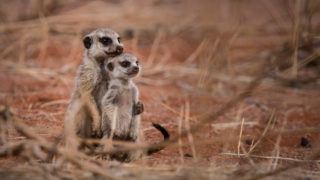 A meerkat with baby in Tswalu Kalahari Private Game Reserve, South Africa © Andrea Galli