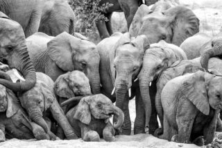 A herd of elephants dig for water in a dry riverbed in Kruger National Park, South Africa © Arno Pietersen