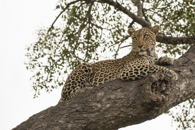 Leopard sitting in a tree in Kruger National Park, South Africa