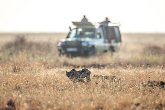 Cheetah walking in grasslands in Mugie Conservancy, Kenya
