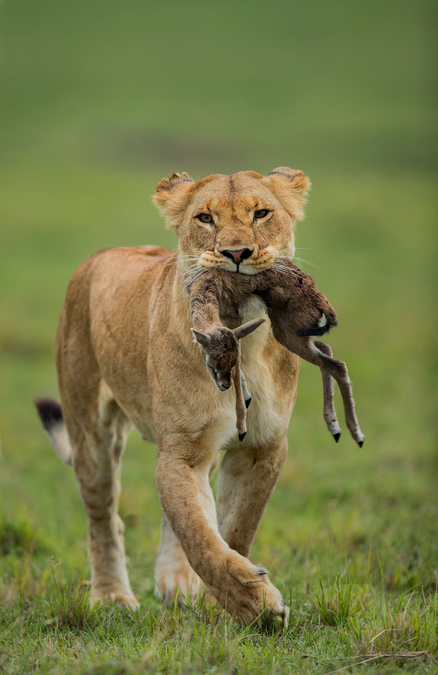 A lioness with her prey in Maasai Mara National Reserve, Kenya