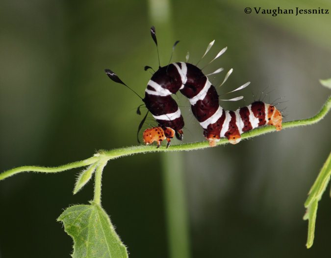 dice moth caterpillar, African insects