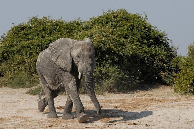 Stock photo of an elephant in Botswana