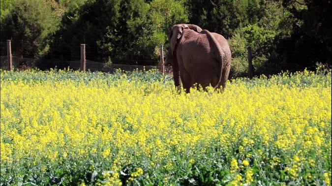 Elephant in farmer's crop field in northern Kenya