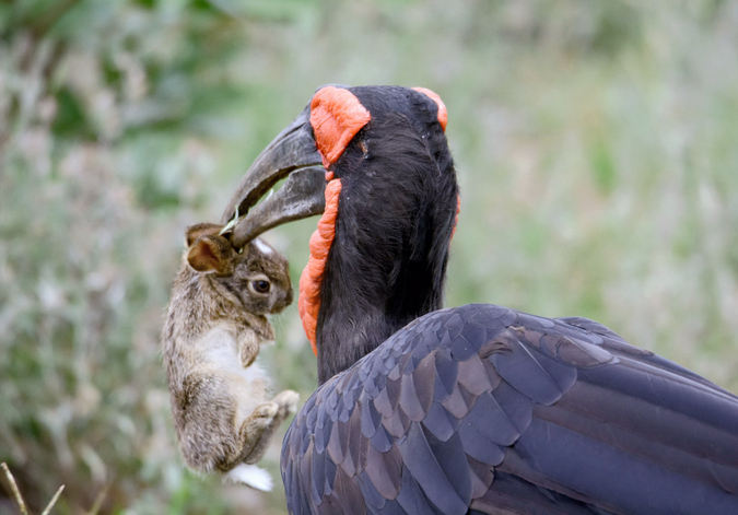 southern ground-hornbill with caught hare in Kruger National Park, South Africa