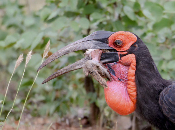 southern ground-hornbill eating hare in Kruger National Park, South Africa
