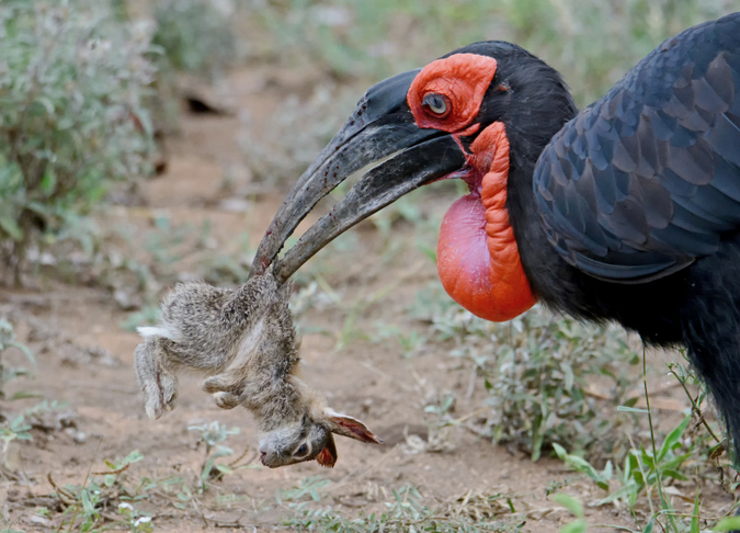 southern ground-hornbill killing hare in Kruger National Park, South Africa