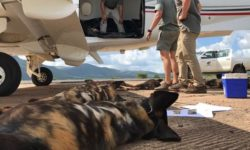 Wild dogs return to Gorongosa
