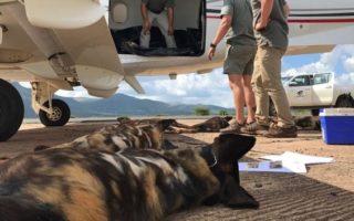 Wild dogs return to Gorongosa