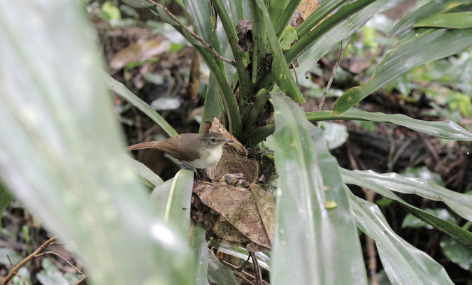 Placid greenbul female at nest in Chawia in Taita Hills, Kenya