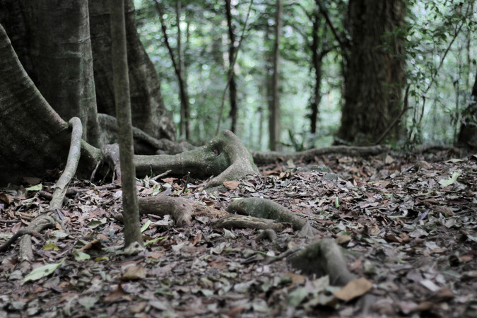 Roots on the forest floor in Ngangao Forest in Taita Hills, Kenya