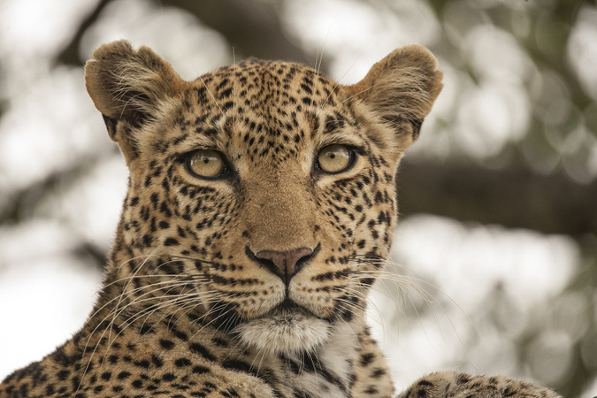 Close up of a leopard sitting in Kruger National Park, South Africa
