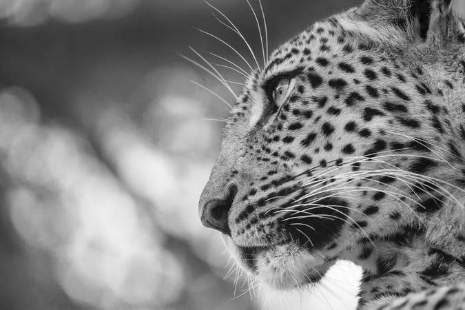 Black and white photo of a leopard in Kruger National Park, South Africa