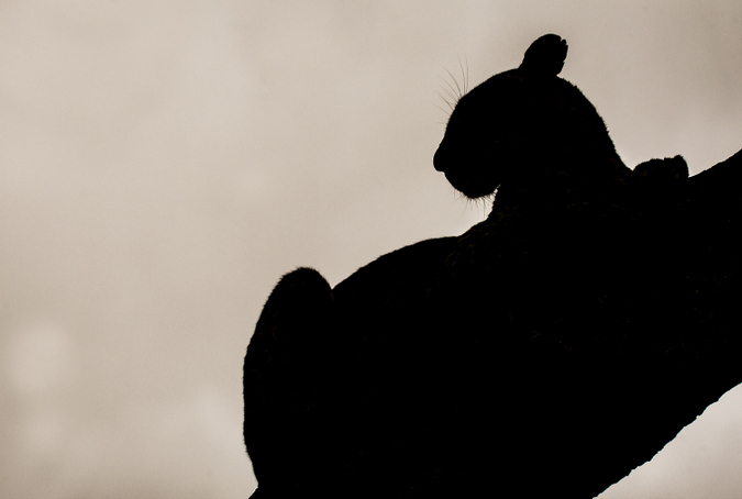 Leopard silhouette in Kruger National Park, South Africa
