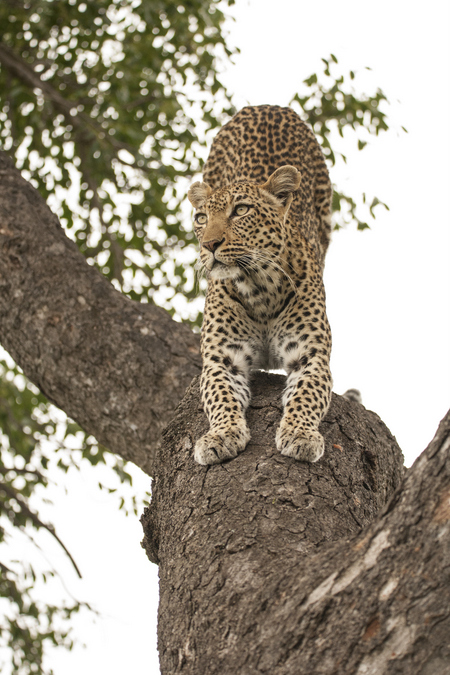Leopard stretching in a tree in Kruger National Park, South Africa
