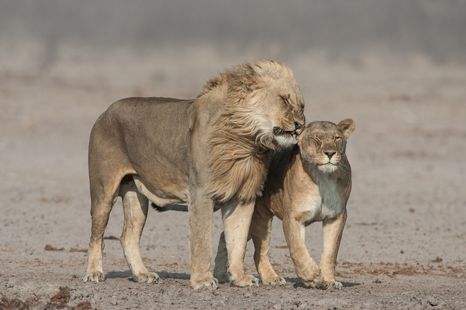 15 Lion facts you need to know - Africa Geographic