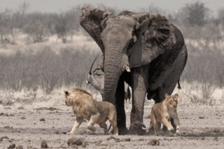 An elephant chases a mating pair of lions away from a waterhole in Etosha National Park, Namibia © Johan J. Botha