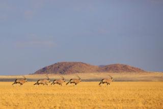 Oryx run in the pro-Namib in Namibia © Kina Joubert