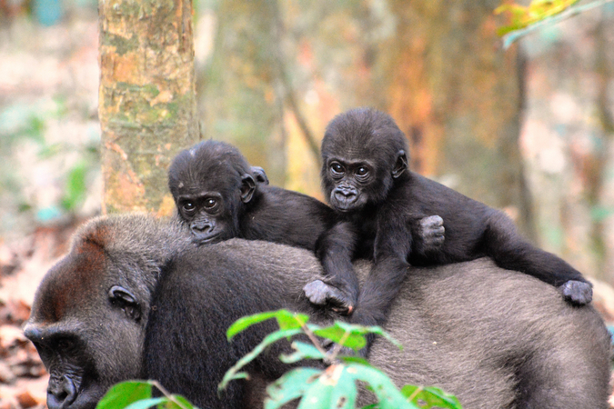 Gorilla with two babies on her back