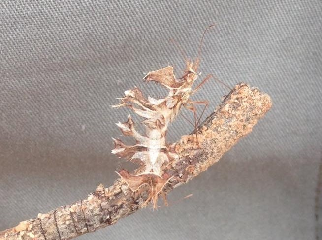 twig-wilter on a stick, African insects