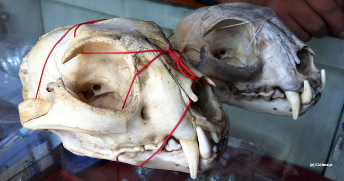 Leopard skull for sale in China