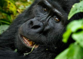 A mountain gorilla in Bwindi Impenetrable National Park, Uganda © Marina Turetsky (Instagram/marinaturetsky)