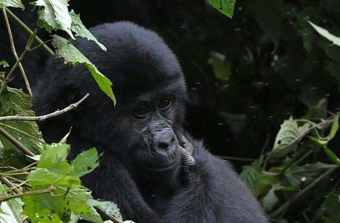 Mountain gorilla in West Africa