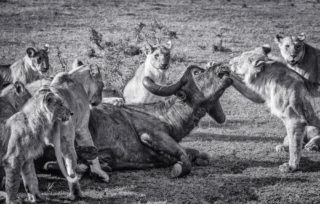 A pride of lions take down a buffalo in the Olaro Motorogi Conservancy, Kenya © Olli Teirilä