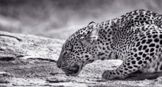 A leopard quenches her thirst in Serengeti National Park, Tanzania © Olli Teirilä