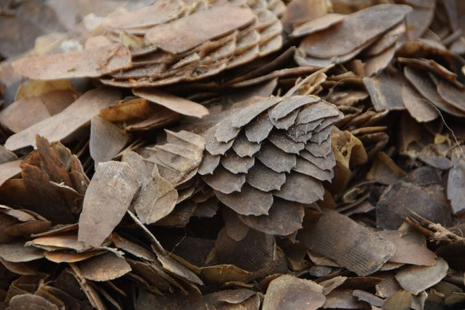 Stock photo of seized pangolin scales