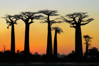'Avenue of the Baobabs' at twilight in western Madagascar © Pedro Ferreira do Amaral