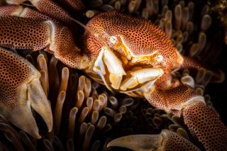 Porcelain crab in Rocktail Bay, KwaZulu-Natal, South Africa © Peet J. van Eeden