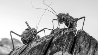 Fighting armoured crickets in Etosha National Park, Namibia © Peter Reitze