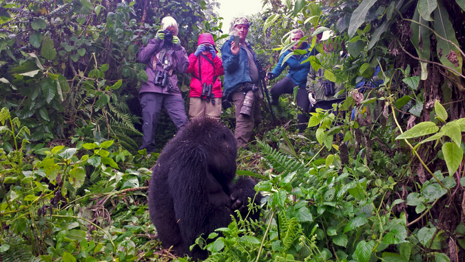 Hikers taking photos of a mountain gorilla in the rainforest