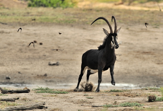 Sable antelope in Kruger National Park, South Africa