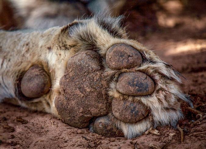 Close up of the front left paw of a lion in Samburu National Reserve, Kenya